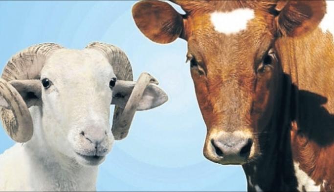 Karaman Sığır Sayısında 69, Koyun Sayısında 31. Sırada