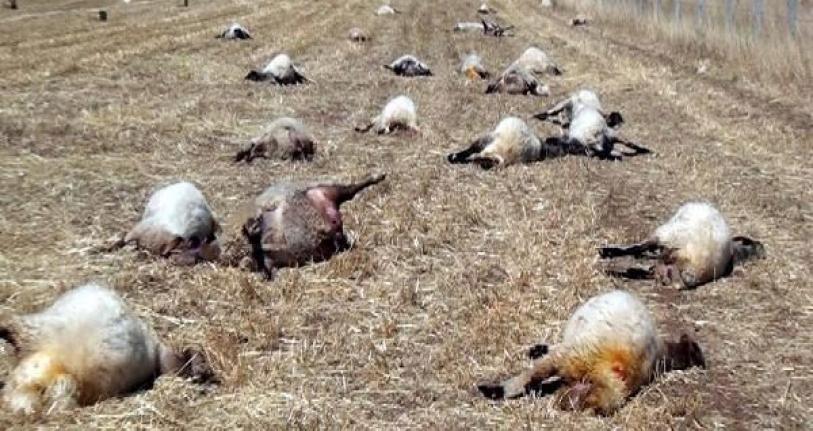 Gübreli Su İçen Koyunlar Öldü