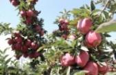 Erdoğan'dan Elma Üreticisini Mutlu Eden Haber