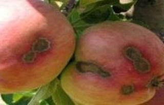 Karaman'da Elma Üreticilerine Kara Leke Uyarisi...