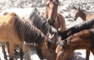 Karadag`daki Yilki Atlarinin Su Çilesi