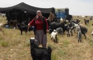 Sarikeçililer, Yasamlarini Keçilerine Göre Düzenliyor