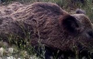 Karaman'da Yaban Domuzu Sürek Avlari Devam Ediyor...