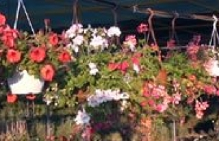 Bahçelerinizi, Balkonlarinizi Süsleyen Çiçekler...