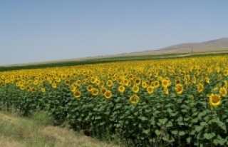 İlimizde Tohumluk Ayçiçeği Özel Üretim Alanları...