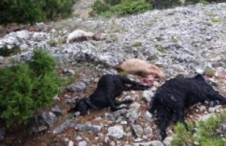 Karaman'da Yıldırım Düşmesi Sonucu 15 Keçi...
