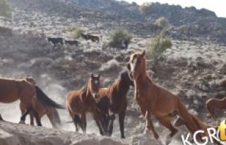 Karaman'daki Yılkı Atlarının Sayısı Kontrollü...