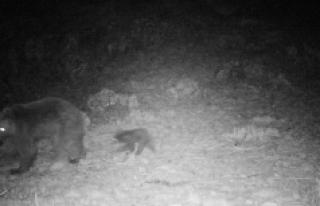 Karaman'da Bozayı İle 3 Aylık Yavrusunu Fotokapan...