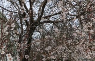Ağaçlar Yalancı Bahara İnandı