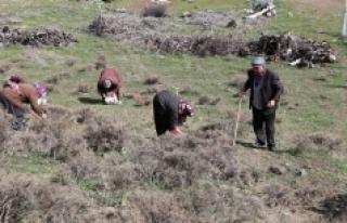 Dağdan Toplanan Otlar Kadınların Gelir Kapısı...