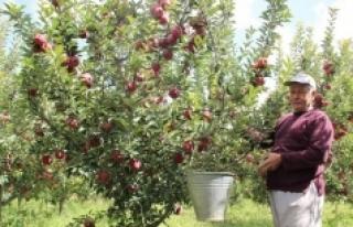 Karaman Elmasının Pazarlama Sorunu Elma Borsası...