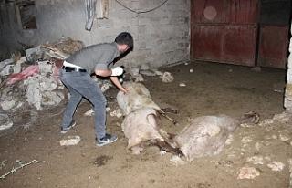 Ağıldaki Koyunlara Saldıran Sokak Köpekleri 3...