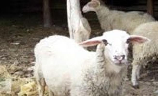 Karaman'da Küçükbas Hayvan Hirsizligi