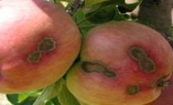 Karaman'da Elma Üreticilerine Kara Leke Uyarisi