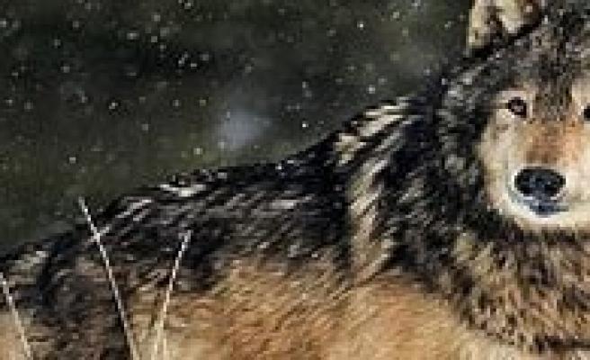 Orman Ve Su Isleri Müdürlügü: Devlet Tarafindan Doga'ya Kurt Salinmamaktadir