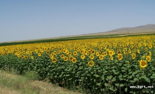 İlimizde Tohumluk Ayçiçeği Özel Üretim Alanları Belirlendi