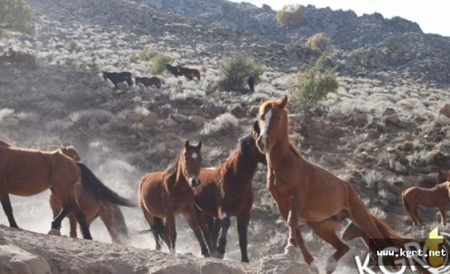 Karaman'daki Yılkı Atlarının Sayısı Kontrollü Olarak Azaltılacak