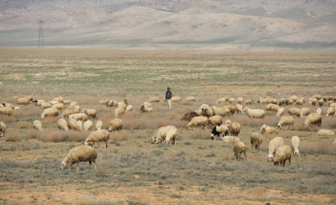 Koyun Üreticileri Dişi Kuzuya Ek Destek İstiyor