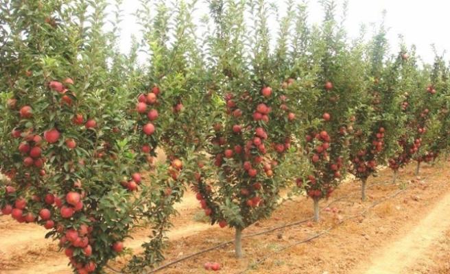 Elmayı Don Vurdu. Tarım Müdürlüğü'nden Ses Yok