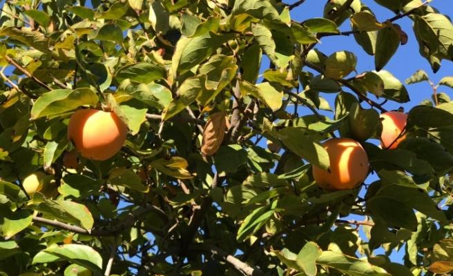 Göksu Havzası'nda Cennet Meyvesi Hasadı Başladı