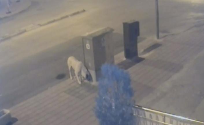 Karaman'da Esnafı Önce Kızdıran Sonrasında İse Güldüren Köpek