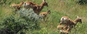 Karadag 'da Anadolu Yaban Koyunu Yavrulari Hayata Gözlerini Açti