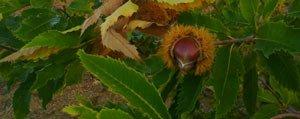 Kestane Fidanlari Ilk Meyvelerini Verdi