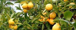 Limonun Kilosu 1 Lira Oldu, Üreticinin Yüzü Güldü