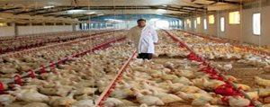 Ariciya Da, Tavuk Üreticisine De Kredi Destegi