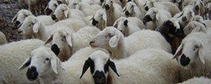 Ilimizde 108 Bin Koyun, 11 Bin 728 Tiftik Keçisi Bulunuyor
