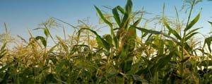 Vekaleti Olmayan Çiftçi Misir Satisi Yapamayacak
