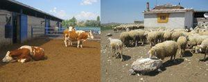 KOP Bölgesi'nde Hayvanciliga Önemli Destek