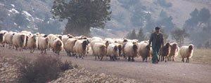 Sürü Yöneticisi Desteklemesi 2014 Yili Hayvancilik Desteklemeleri Kapsaminda