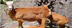 Anadolu Yaban Koyunlari, Karadag'a Uyum Sagladi