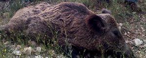 Karaman'da Yaban Domuzu Sürek Avlari Devam Ediyor