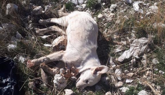 Karaman'da Kedi Ve Köpek Ölümleri