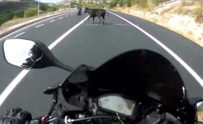 Motosikletli Genç, Önüne Atlayan İneğe Çarpmaktan Son Anda Kurtuldu