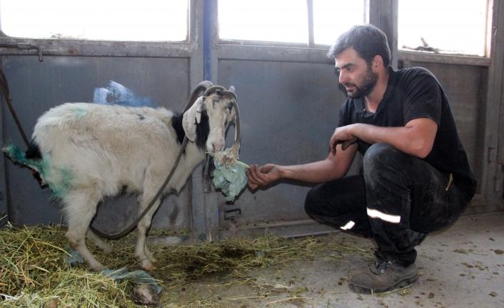 Kurdun Yaraladığı Keçiyi Ölmek Üzereyken Tamirciler Kurtardı