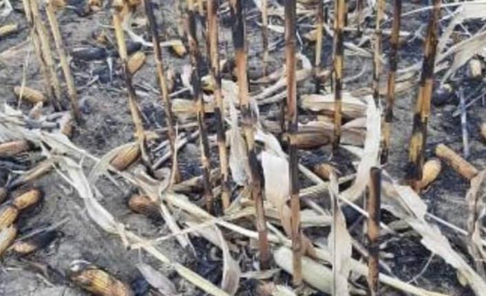 Anız Yangınında Mısır Tarlası Kül Oldu