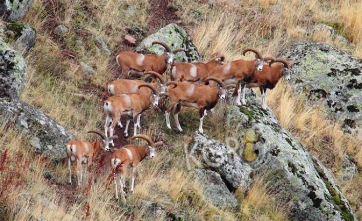 Karadağ'da Anadolu Yaban Koyunu Artmaya Devam Ediyor