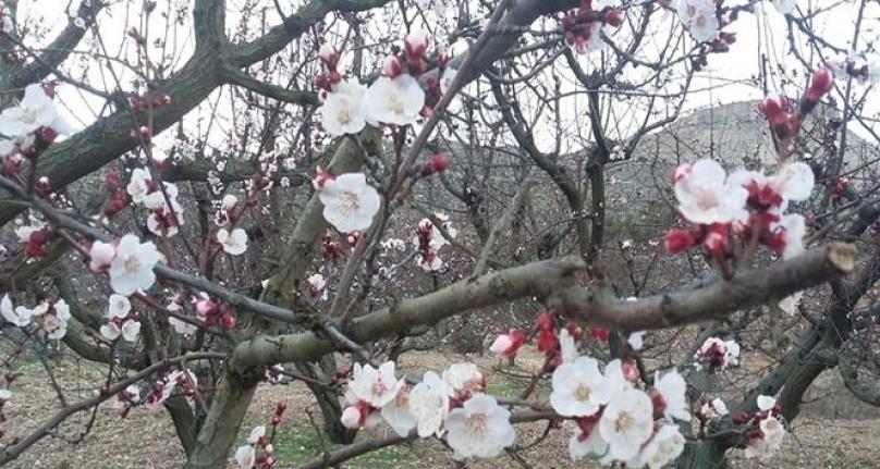 Mut'ta Kayısı Ağaçları Çiçek Açtı