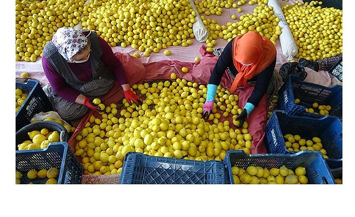İç Piyasaya Sürülmeyen Limon Çürüyor
