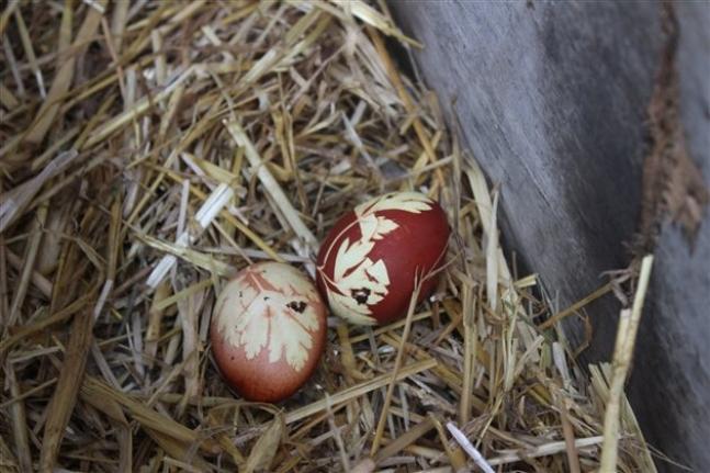 Kaynatılmış Maydonoz Suyu İçen Tavuk Yumurtaları Bakın Nasıl Oldu