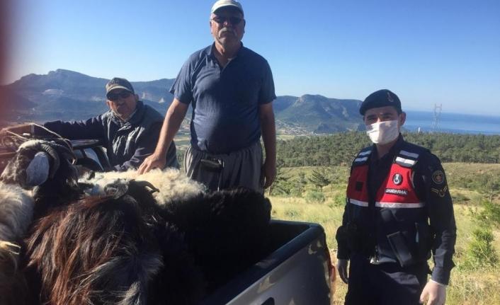 Kaybolan Küçükbaş Hayvanları Jandarma Buldu