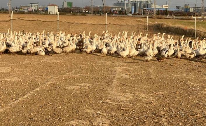 Başkan Bayram'dan Linda Kaz Üretim Çiftlik Ziyareti