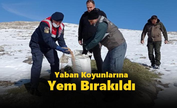Konya'da Yaban Koyunlarına Yem Bırakıldı