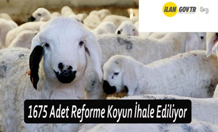 1675 Adet Reforme Koyun İhale Ediliyor