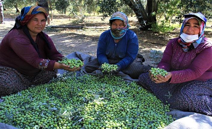 Mut Zeytinyağı Avrupa'ya İhraç Edilmeye Başlandı