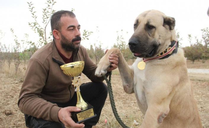 Türkiye'nin En İyi Anadolu Çoban Köpeği Karaman'dan Seçildi