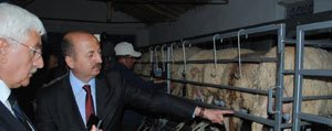 Kasoba Köyünde Küçükbas Hayvanlar Için Süt...